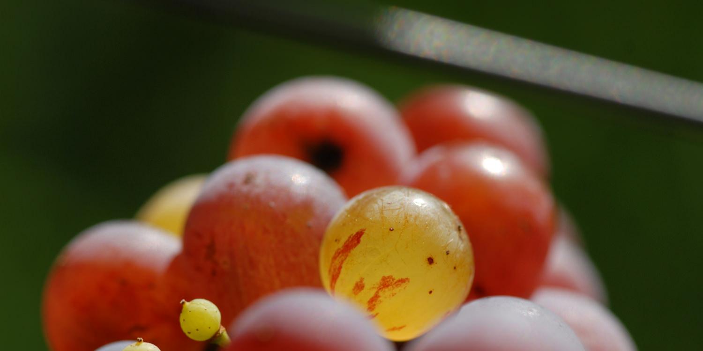 Roter Riesling – dichte Aromen bei feiner Säure
