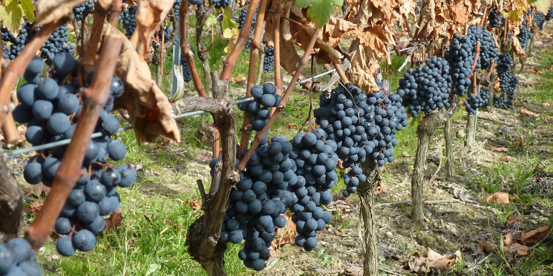 Schweizer Weinbau – Don Juan mit Genfer Charme