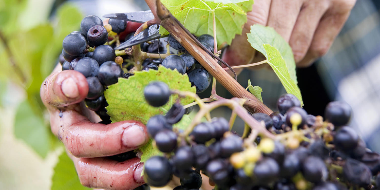 <thrive_headline click tho-post-94797 tho-test-7>Cabernet Sauvignon – die Traube für Frucht-Fans</thrive_headline>