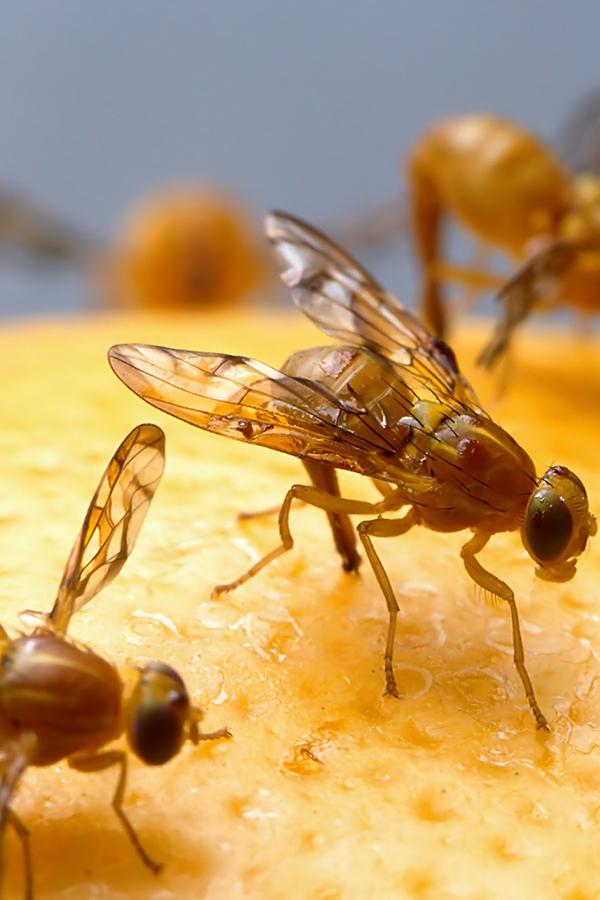 Der Flug ins Weinglas ist bei frustrierten Männchen oft eine Mission mit selbstmörderischem Hintergrund.