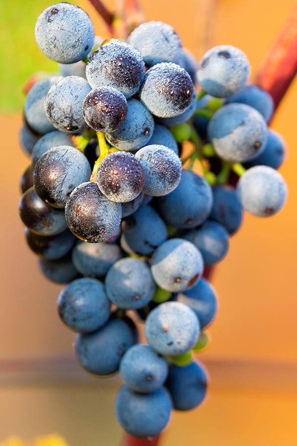 Auch an Weintrauben geht der Klimawandel nicht spurlos vorbei