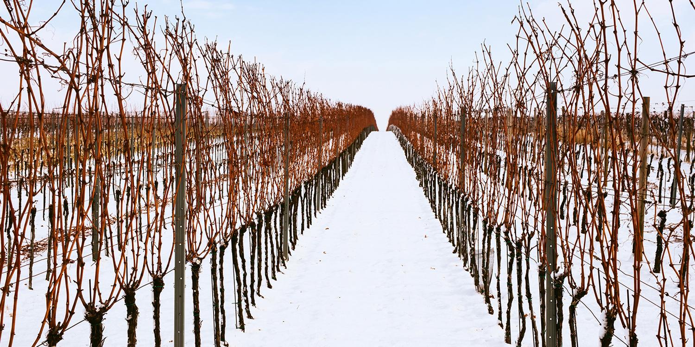 Klimawandel – Trockenheit & Frost in der Weinwelt