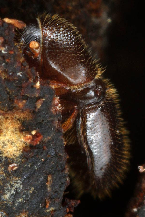 Ambrosiakäfer